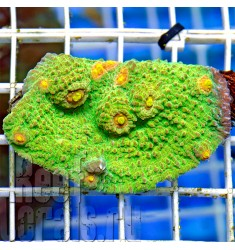 Emerald Mummy-Eye Chalice Coral Ultra Color Australian Echinophyllia Sp. Чалис