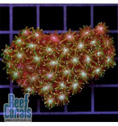 Galaxea sp. Сopper Galaxy Галаксея