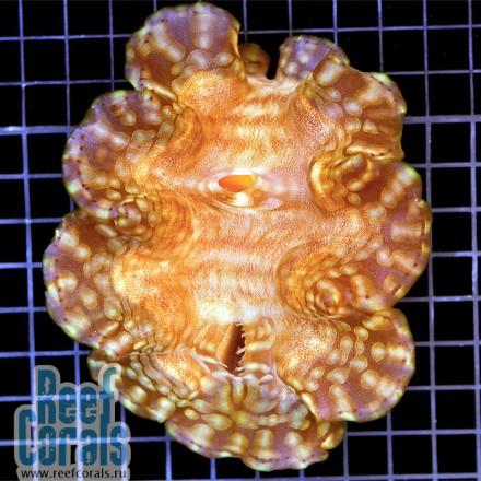 Tridacna Squamosa Тридакна Сквамоза 14-17 см