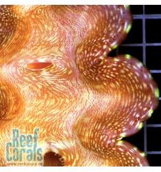 Tridacna Squamosa Тридакна 14-17 см
