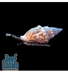 Caribbean Nassarius Snail Улитка