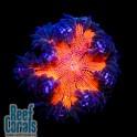 ULTRA Rock Flower Anemone Анемон