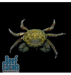 Caribbean Green Emerald Crab Краб