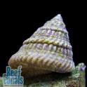 Caribbean Astraea Turbo Snail Улитка