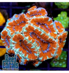 Acanthastrea lordhowensis Red Tiger Акантастрея лорди