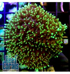 Rhodactis Fuzzy Green Родактис зеленый