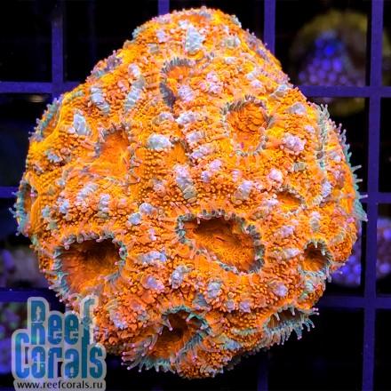 Acanthastrea lordhowensis Orange Tiger Акантастрея лорди