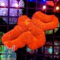 Lobophyllia sp. Лобофиллия красная