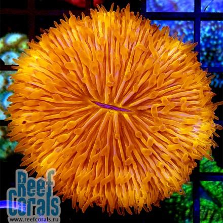 Fungia sp. Ultra orange Фунгия