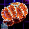 Acanthastrea lordhowensis Red Tiger Акантастрея лорди