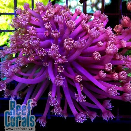 Goniopora sp. Pink Goni Гониопора