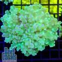 Euphyllia divisa Green Эуфиллия