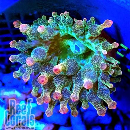 Entacmaea quadricolor Актиния пузырчатая