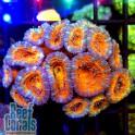 Acanthastrea lordhowensis Ultra Rainbow Акантастрея лорди