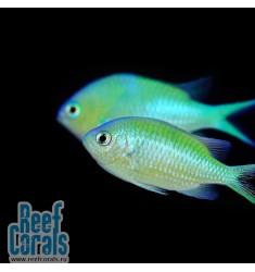 Хромис сине-зелёный