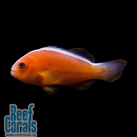 Amphiprion perideraion Розовый клоун