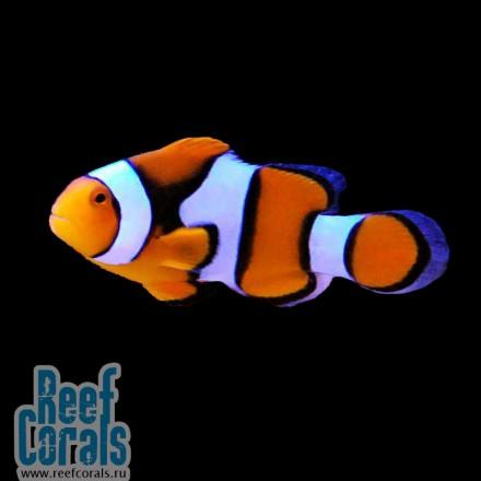 Amphiprion percula Клоун Перкула, Оранжевый амфиприон