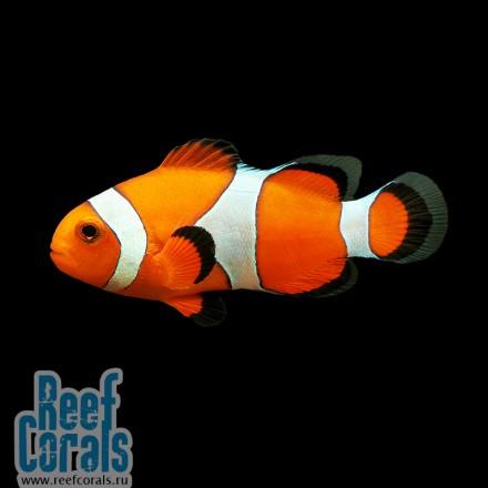 Amphiprion ocellaris Клоун оцеллярис, Клоун трехленточный, Анемоновая рыбка-клоун