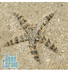 Звезда песчаная Archaster typicus