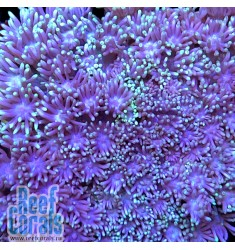 Goniopora sp. AUSSIE ULTRA Violet Goni Гониопора фиолетовая