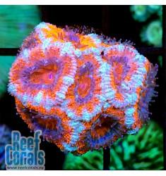 Acanthastrea lordhowensis AUSSIE ULTRA RED Акантастрея лорди