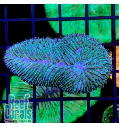 Herpolitha limax Язычковый коралл