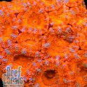 Acana Lord Aussie Ultra 1p Orange Акантастрея лорди