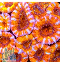 Acanthastrea lordhowensis Ultra Orange Tiger Акантастрея лорди