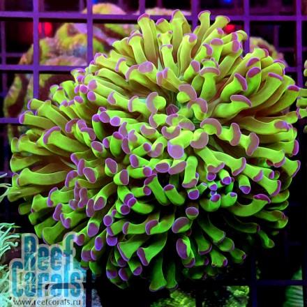 Euphyllia ancora gold purple tip Эуфиллия молоточковая золотая Размер M 3 головы