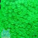 WWC Lime Green Cyphastrea Цифастрея