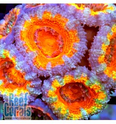 Acanthastrea lordhowensis ULTRA RAINBOW AUSSIE Акантастрея лорди