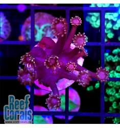 Goniopora sp. Purple goni Гониопора фиолетовая