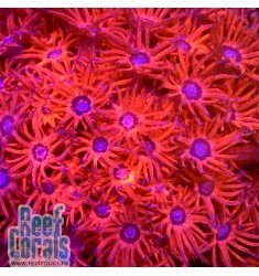Goniopora sp. ULTRA PINK Гониопора Ультра розовая