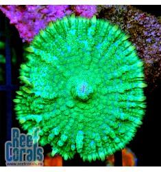 Rhodactis NeonLight Родактис