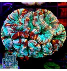 Wellsophyllia RAINBOW Велсофиллия