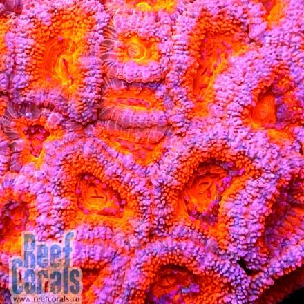 Acanthastrea lordhowensis Ultra Red Австралийская акантастрея лорди