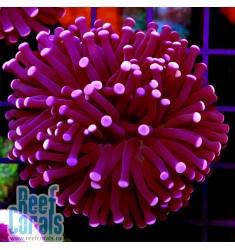 Euphyllia glabrescens Pink tip Эуфиллия