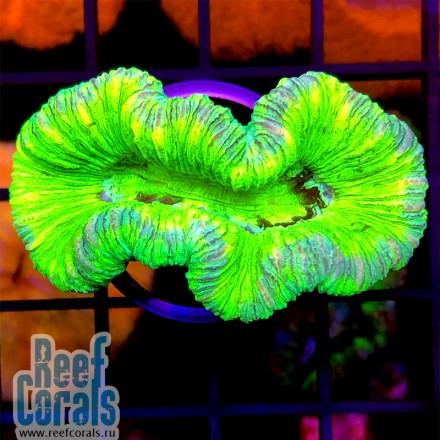 Neon Trachy Brain Трахифиллия