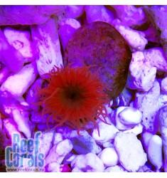 Radianthus sp. Красный анемон