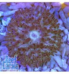 Radianthus sp. Песчаный анемон