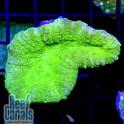 Lobophyllia Toxic green Лобофиллия