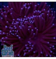 Euphyllia glabrescens Bluе Midnight Тorch Эуфиллия