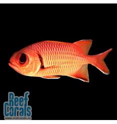 Рыба-солдат (L)