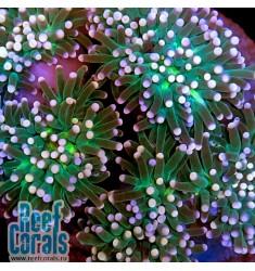 Euphyllia glabrescens 1p Green purple tips Эуфиллия