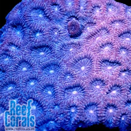 Blue Midnight Favia sp. Фавия