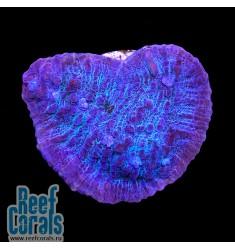 Aussie Blue Chalice Чалис