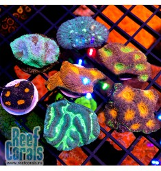 FRAG PACK RAINBOW LPS CORALS